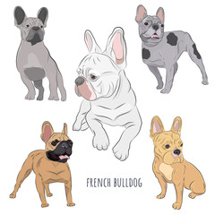 Purebred canine hand drawn illustration. Set of five frenchies in different color. French Bulldog set isolated on white background.