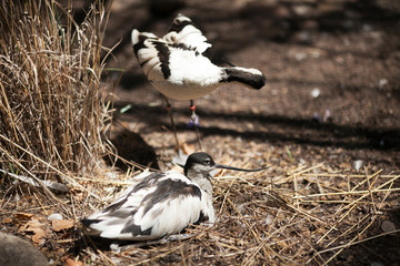 Two pied avocets in the zoo of Barcelona