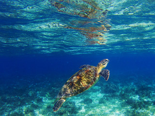 Sea turtle in tropical lagoon. Marine turtle diving for breath. Sea tortoise snorkeling photo.