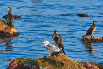 Cormorant and Seagull on the Rock