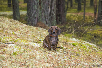 Dachshund,sausage dog in forest