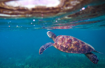 Sea turtle breaths air. Green sea turtle closeup. Wildlife of tropical coral reef.