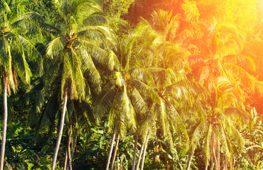 Coco palm tree landscape with sun flare. Coconut Palm tree forest jungle.