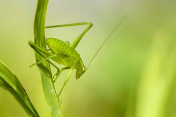 Katydid Cricket