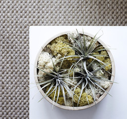 Air Plant (tillandsia) in low planter with moss overhead