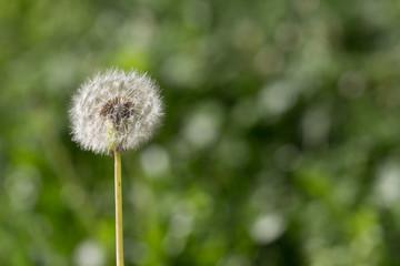 Dandelion green background