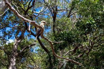 Kookaburra in a tree