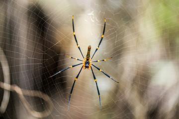 Australian Spider in web