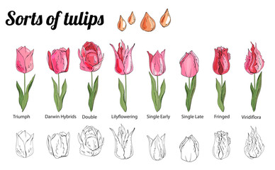 Set of different tulips. Various sorts of color