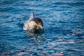 Common Dolphin jumping out of the ocean