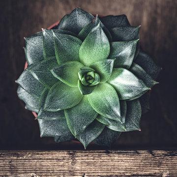 Stone Rose succulent cactus. Top view, selective focus. Square crop