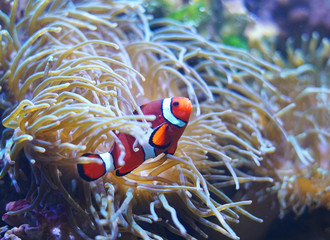 Door stickers Under water Red clown fish in the coral reef