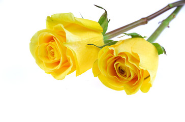 Wall Mural - yellow rose isolated on the white background