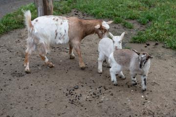 Ziege mit ihren zwei Jungen