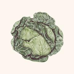 Illustration of cabbage