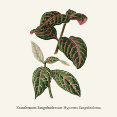 Eranthemum Sanguinolentum found in (1825-1890) New and Rare Beautiful-Leaved Plant.