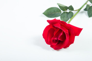 Red rose on a white background. valentine concept.