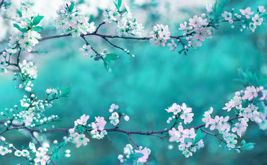 Beautiful spring floral background with branches of blossoming cherry, soft focus. Frame of pink sakura flowers in spring close-up macro on a turquoise background outdoors in nature.