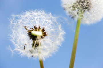 spring garden and meadow - springtime flowers: dandelion (Taraxacum officinale) - white dandelions against the blue sky