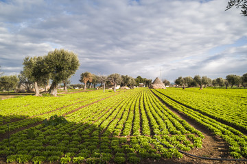Field of salads in Puglia