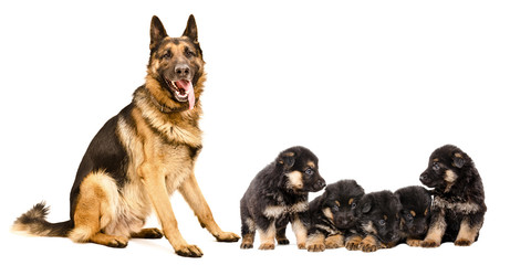 German Shepherd dog with puppies, isolated on white background