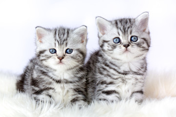 Close up two silver tabby kittens on fur