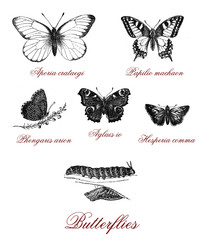 Different kind of butterfly and butterfly metamorphosis, vintage illustration