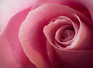 detail of a pink rose flower