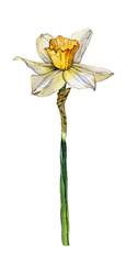 Botanical illustration of a daffodil flower on white background