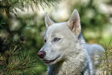 white blue-eyed husky