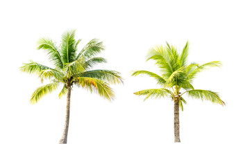 Coconut trees on white background.