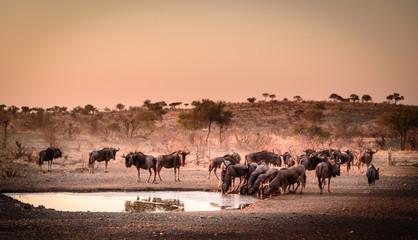 Aufnahme einer Herde Gnus (Blue Wildebeest) an einer Wasserstelle in der Dämmerung