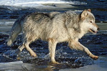 Wolf in the River
