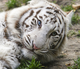 Photo on textile frame Tiger Portret zwart-witte tijger met mooie blauwe ogen