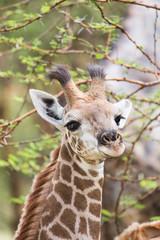 Closeup headshot of a young giraffe in the wild