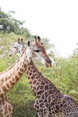Two giraffes walkiing in opposite direction