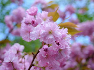 Close up of beautiful cherry blossoms