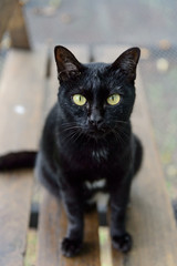 Close up of black cat in shallow  focus