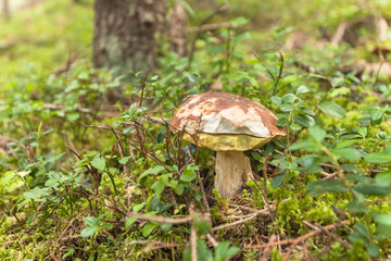 Boletus Edulis grown up inside a forest in Dolomites (Italy)