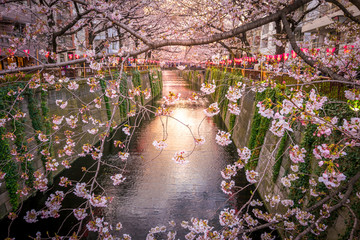 Wall Mural - Cherry blossom at Meguro Canal in Tokyo, Japan