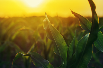 Wall Mural - Corn plantation in sunset