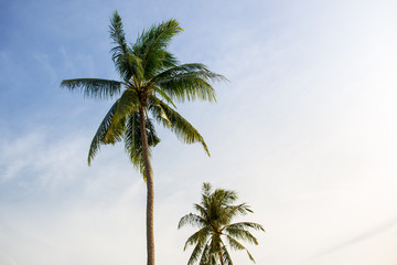 Big coconut tree on the blue sky during moring sun lighting.