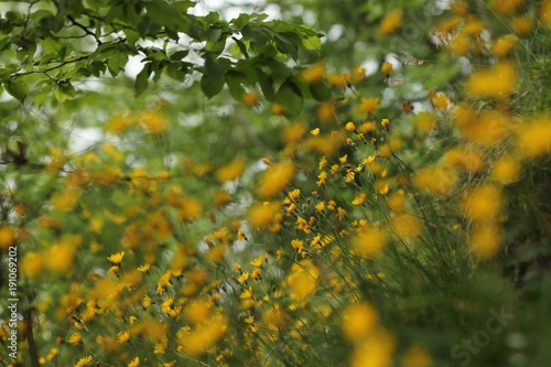 Prato di fiori gialli in estate.\