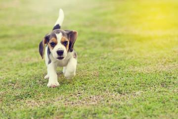Cute little Beagle running in garden