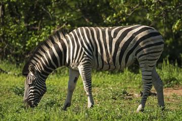 Plains Zebra, Equus quagga chapmani, Hluhluwe-Imfolozi Park, South Africa