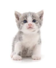 Little gray kitten.