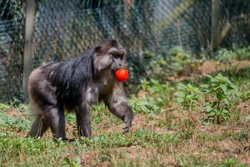 Macaque de Tonkéan dans un parc zoologique