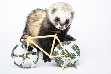 Cute domestic ferret looking at decorative bicycle. Posing in a studio on white background. Wall mural