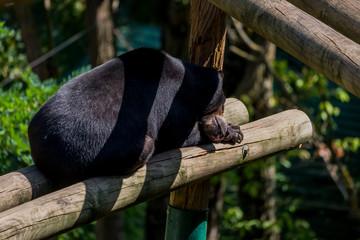 Ours Malais dans un parc zoologique