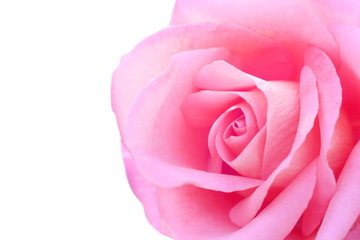 Close up pink rose on white background, look soft and beautiful